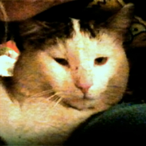 Efterlyst katt - Kattis 130620, Hallegårdsvägen i Lerum kopia