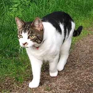 Efterlyst katt - Missan 130219