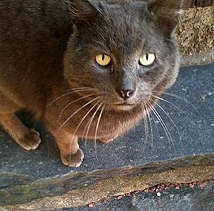 Efterlyst katt - Earl Grey, Kungälv, 150626
